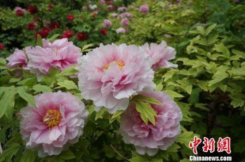 图为盛开的牡丹花,婀娜多姿。 韩章云 摄